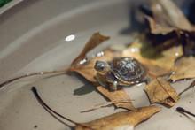 Baby Three Toad Box Turtle