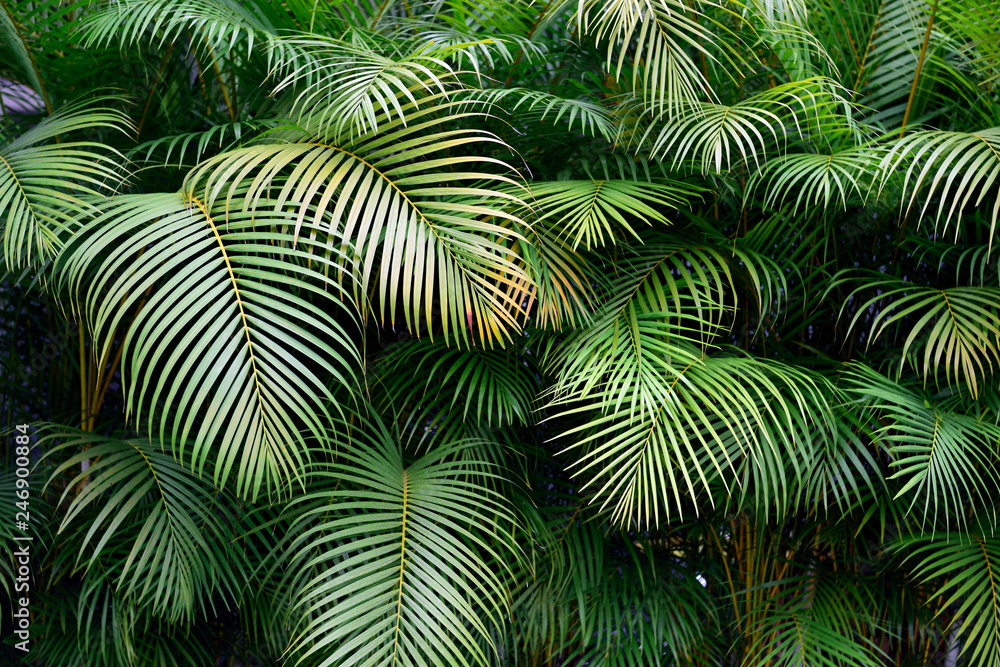Fototapeta Exotic Colombian green palm fronds, lush wall of tropical leaves, shapes and textures, Medellin.