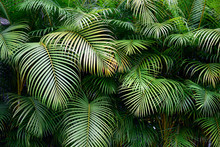 Exotic Colombian Green Palm Fronds, Lush Wall Of Tropical Leaves, Shapes And Textures, Medellin, Colombia