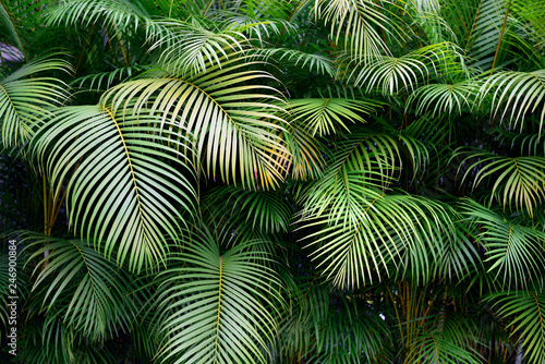 Obraz Exotic Colombian green palm fronds, lush wall of tropical leaves, shapes and textures, Medellin. - fototapety do salonu
