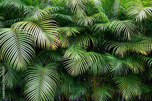 Foto  Exotic green palm fronds, lush wall of tropical leaves, shapes and textures
