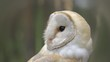 Owl with black eyes and beautiful feather coloring looks around