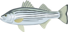 Striped Bass Vector Illustration