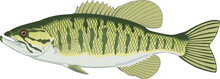 Small Mouth Bass Vector Illust...
