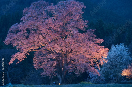 Poster Bordeaux A big cherry blossom tree illuminated in rural area of Japan