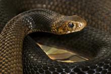Close Up Of An Eastern Brown Snake (Pseudonaja Textilis)