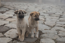 Cur Puppy In Foggy Day On The ...