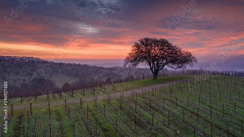 Photo Stands Lavender Paso Robles Sunrise