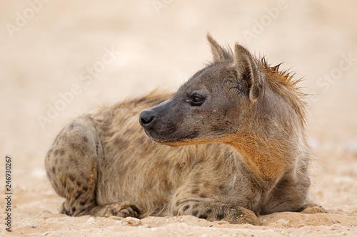 Fotografia A spotted hyena (Crocuta crocuta) resting, Kalahari desert, South Africa
