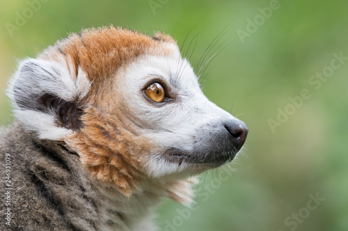 Lemur or Monkey closeup with big eyes Wallpaper Mural