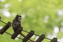 Monkey On A Lookout