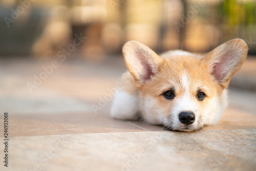 Bored corgi dog lying or waiting for someone on the floor in summer sunny day - 246933068