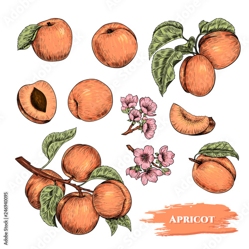 Canvas Print Vector apricots hand drawn sketch with flowers