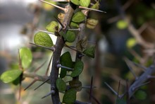 Natural Thornbush Macro Foliage
