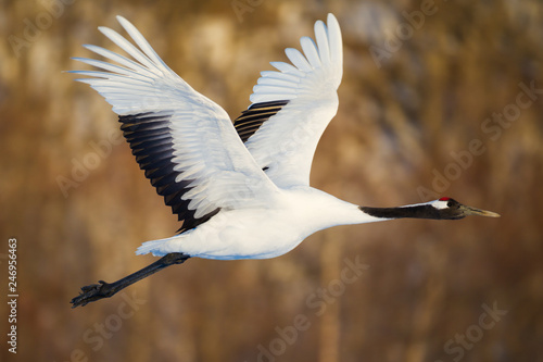 Photo  Red-crowned crane bird dancing on snow and flying in Kushiro, Hokkaido island, J