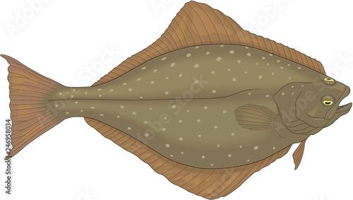Fotografija Halibut Flatfish Vector Illustration