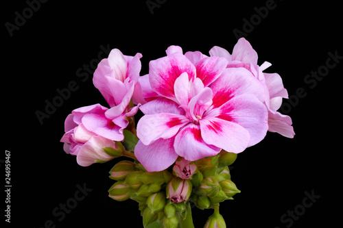 geranium in bloom in spring