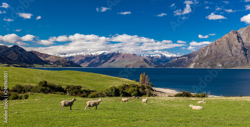 Fotobehang Schapen Sheep on a field near Lake Hawea with mountains in the background, Sounh Island, New Zealand