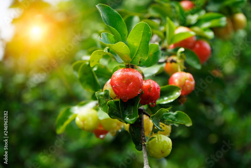 Acerola small cherry fruit on the tree and sunset background Canvas