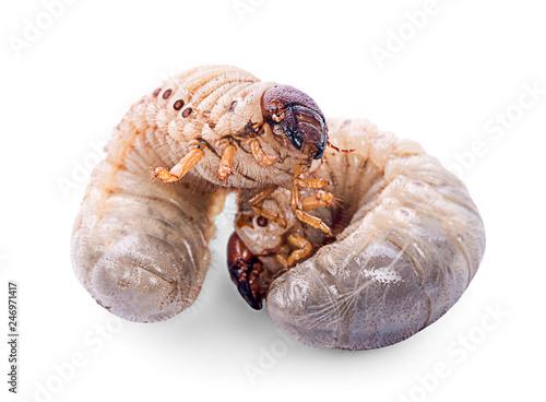 Image Of Grub Worms Coconut Rhinoceros Beetle Oryctes Rhinoceros