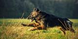 Fototapeta Zwierzęta - Owczarek niemiecki w biegu