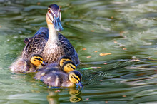 Mother  Pacific Black Duck And  Her  Ducklings