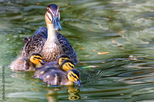 Mother  Pacific Black Duck and  her  ducklings Canvas Print