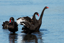 Australian Black Swan Perth Western Australia