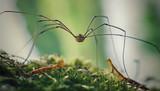 Fototapeta Zwierzęta - Pająk kosarz