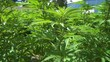 Marijuana Plants Cannabis Close up motion down