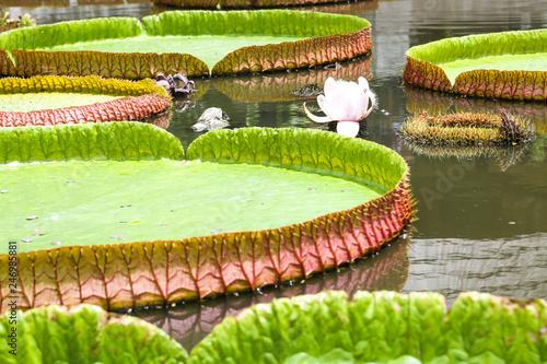 Deurstickers Waterlelies Victorian lotus on a pond.