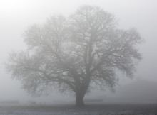 A Beautiful Tree In A Mantle Of Fog