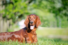 Dog Breed Irish Setter Lies In The Grass, Behind The Lake And Bridge