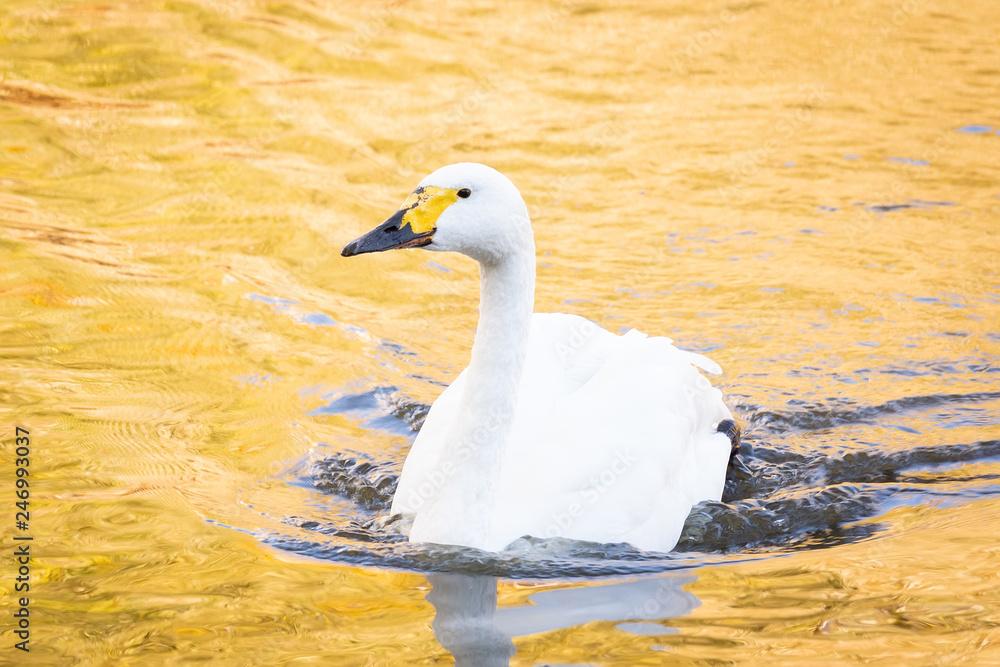 Swan sunset pond