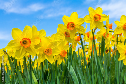 Photographie  yellow dutch daffodil flowers close up low angle of view with blue sky backgroun