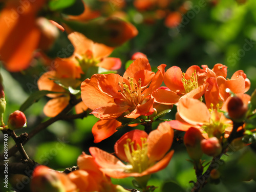 Poster Cappuccino Orange quince flowers as spring background.