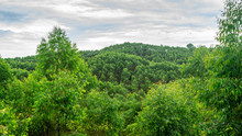 Beautiful View Of Eucalyptus F...