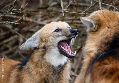 Maned wolf, Chrysocyon brachyurus, beautiful head