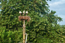 Family Of Three White Storks On Their High Nest Closeup On Top Of Electric Pillar On Tree Leaves Background