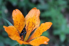 Amata Phegea Butterfly In A Lily Flower