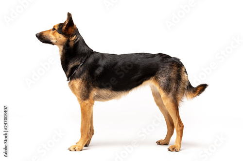 Valokuvatapetti Adorable mixed-breed dog stands at white background