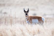 Pronghorn In Antelope Island S...