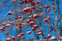 Rowan Branches With Red Berries Against A Dark Blue Sky.