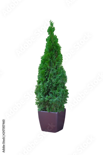 Thuja occidentalis danica, isolated on white background. Cypress in outdoor pot. Coniferous trees. Wall mural