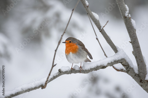 Robin (redbreast) in the snow Canvas Print