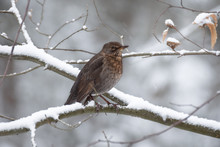 Female Blackbird On A Branch In The Snow