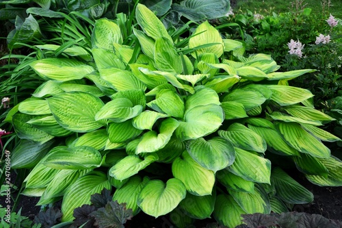 Hosta With Green And Yellow Leaves In The Garden Close Up Buy