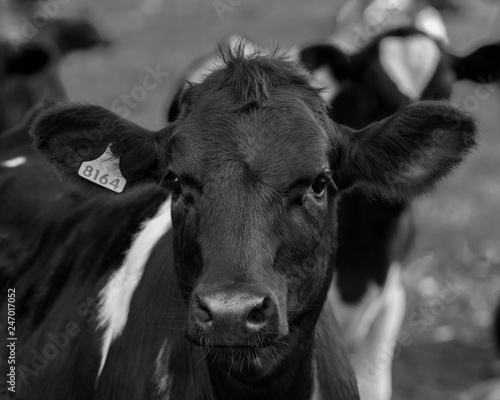 Fototapety, obrazy: A portrait of a young cow.