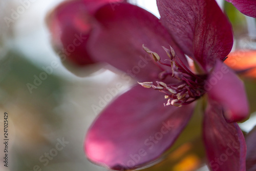 beautiful delicate burgundy apple flower blooming in the spring sunny garden