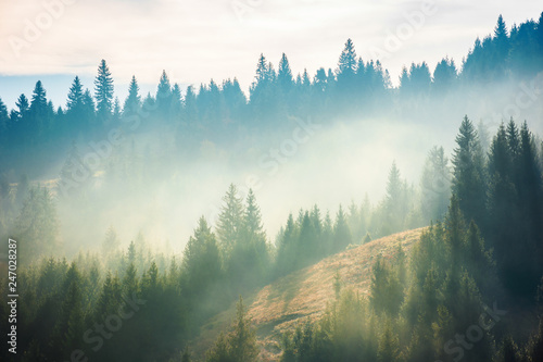 Poster Morning with fog spruce forest on the hill in fog. beautiful nature scenery in mountains. amazing morning weather in autumn .